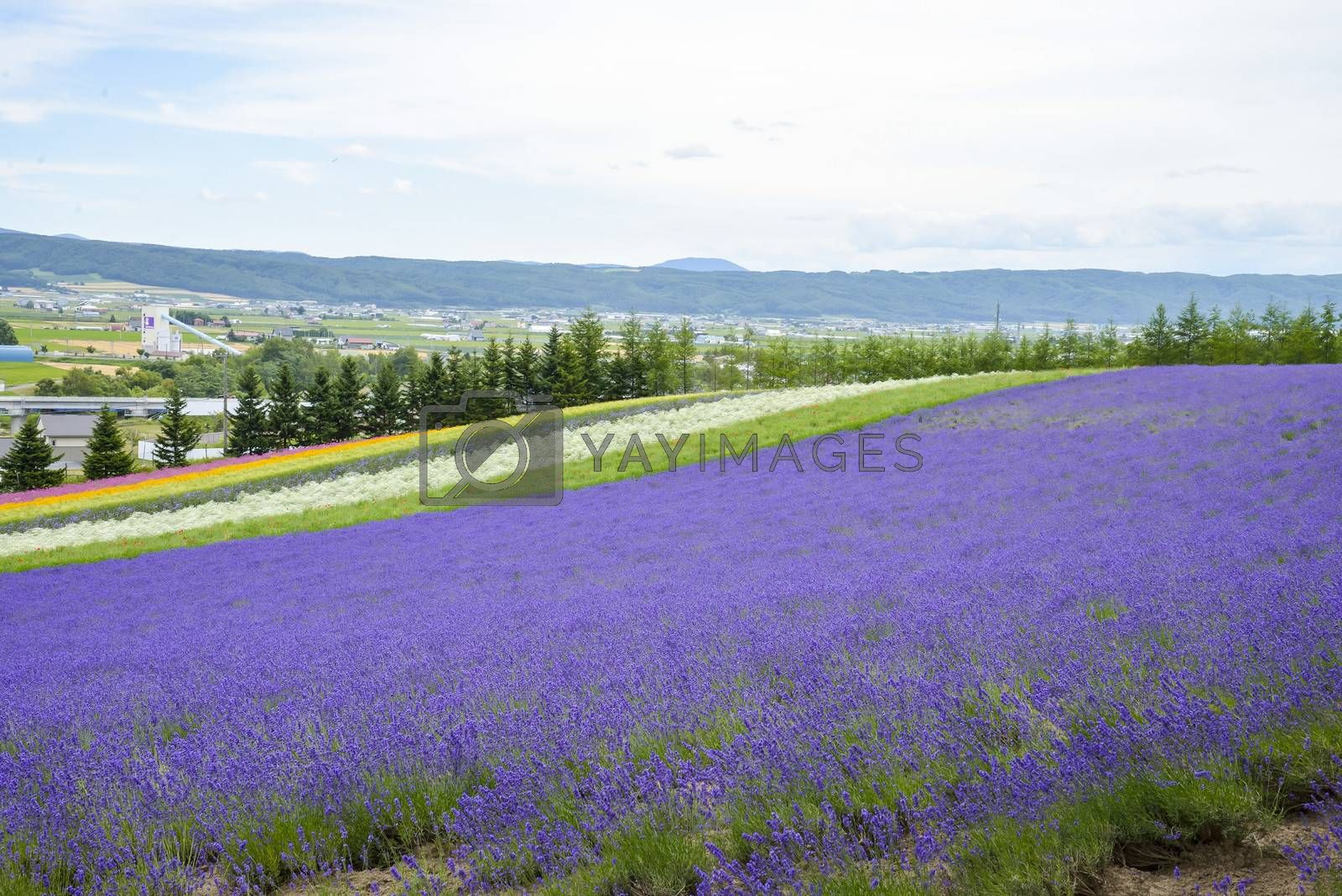 Colorful Lavender farm4