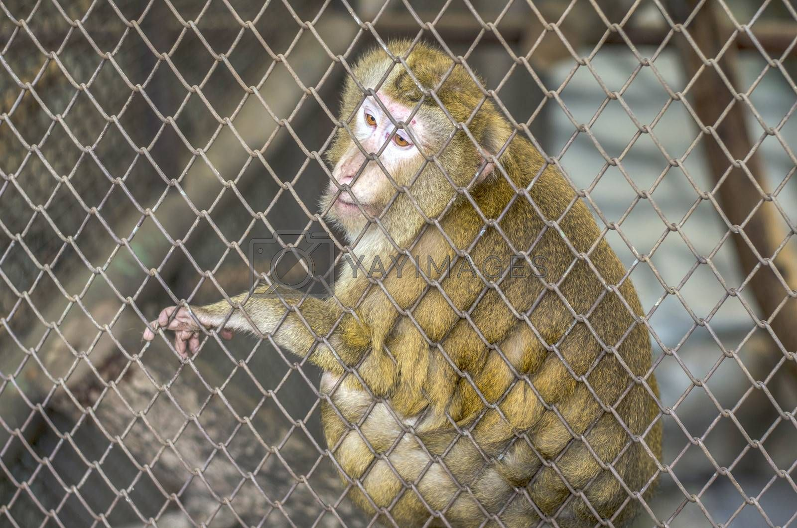 sad monkey in cage  by Nisakorn Neera