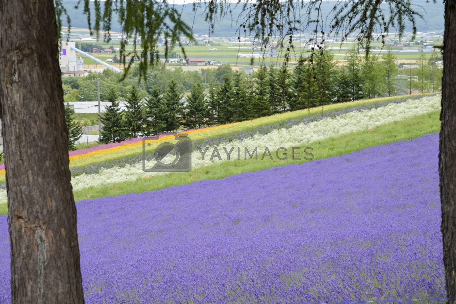 Colorful Lavender farm2