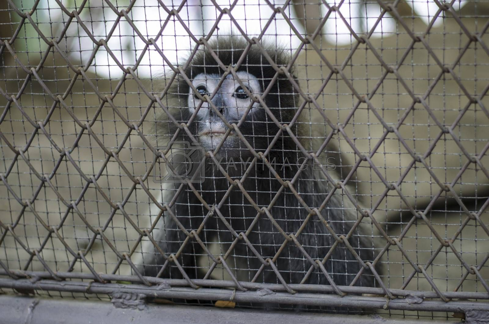 sad crying monkey in cage in Thailand zoo