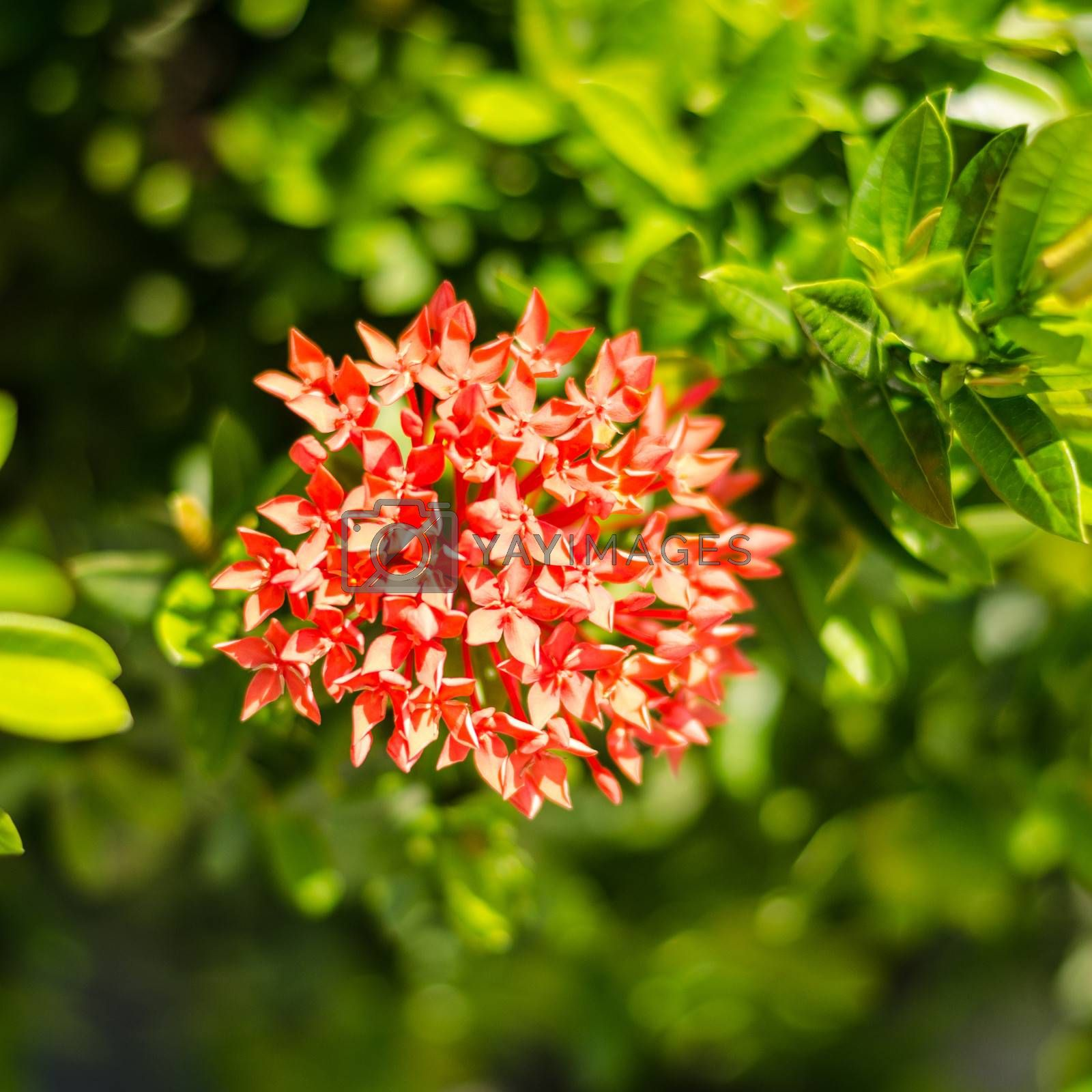 red Ixora flower on green leaves background