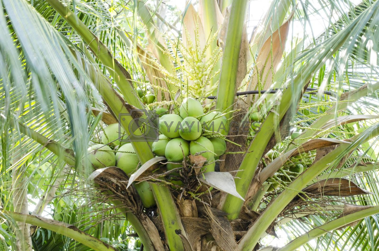 coconut tree with green leaves coconut