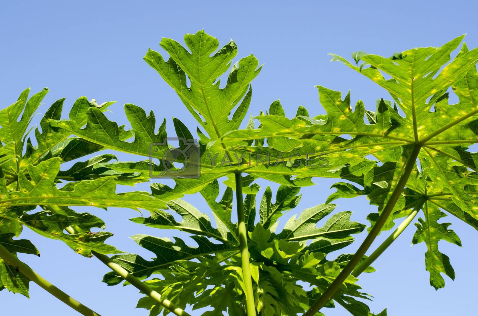 papaya leaves on blue sky background