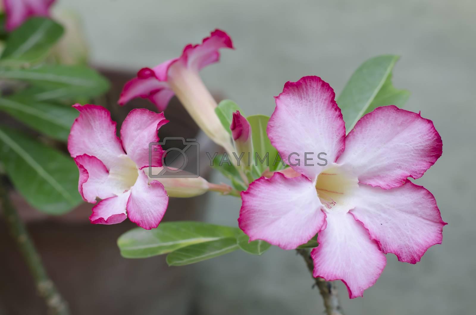 asia desert rose in nature