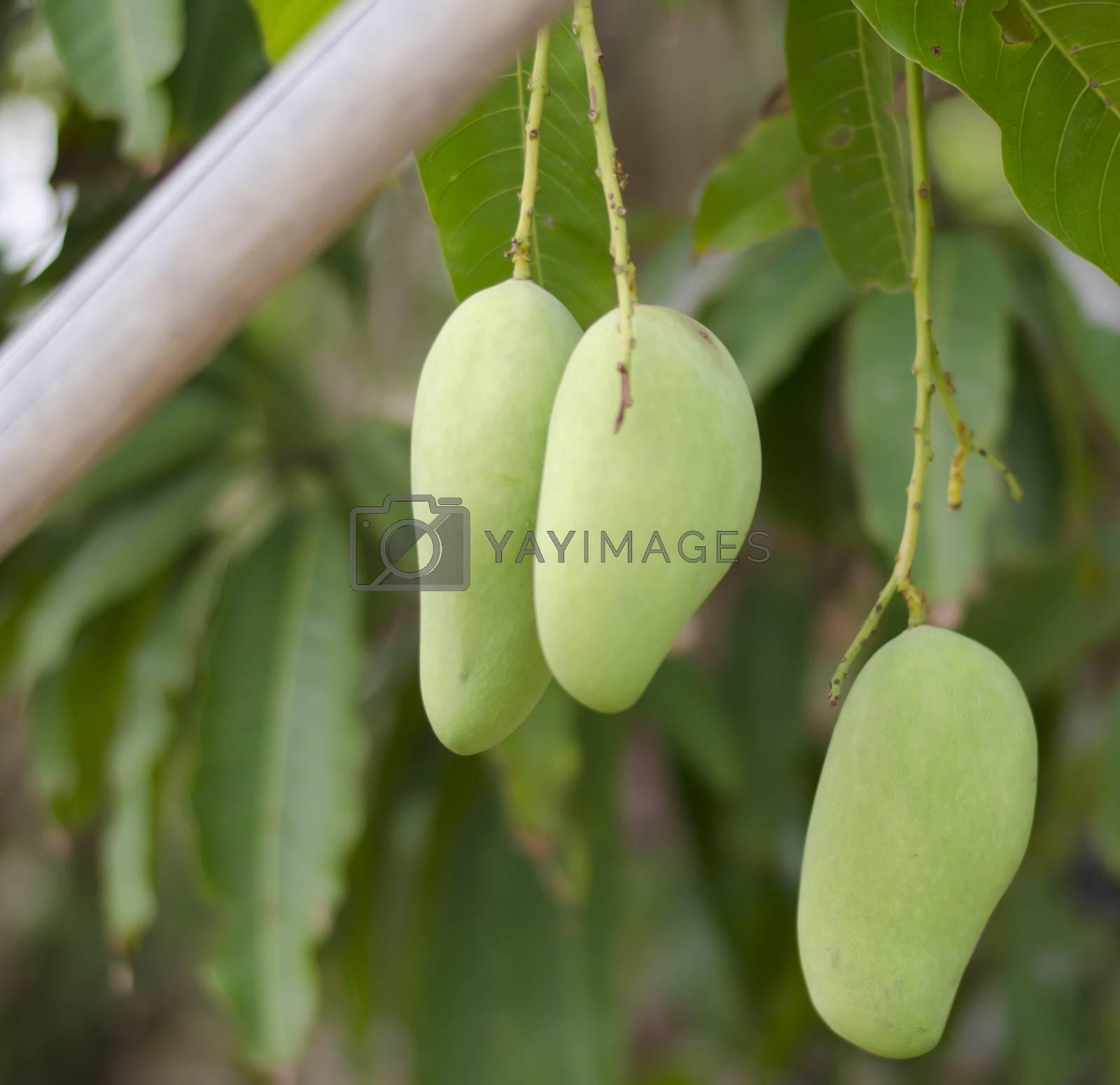 green mango on tree in asia