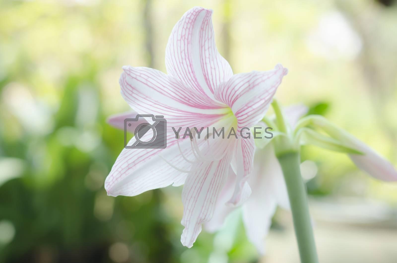 beautiful Hippeastrum johnsonii in nature