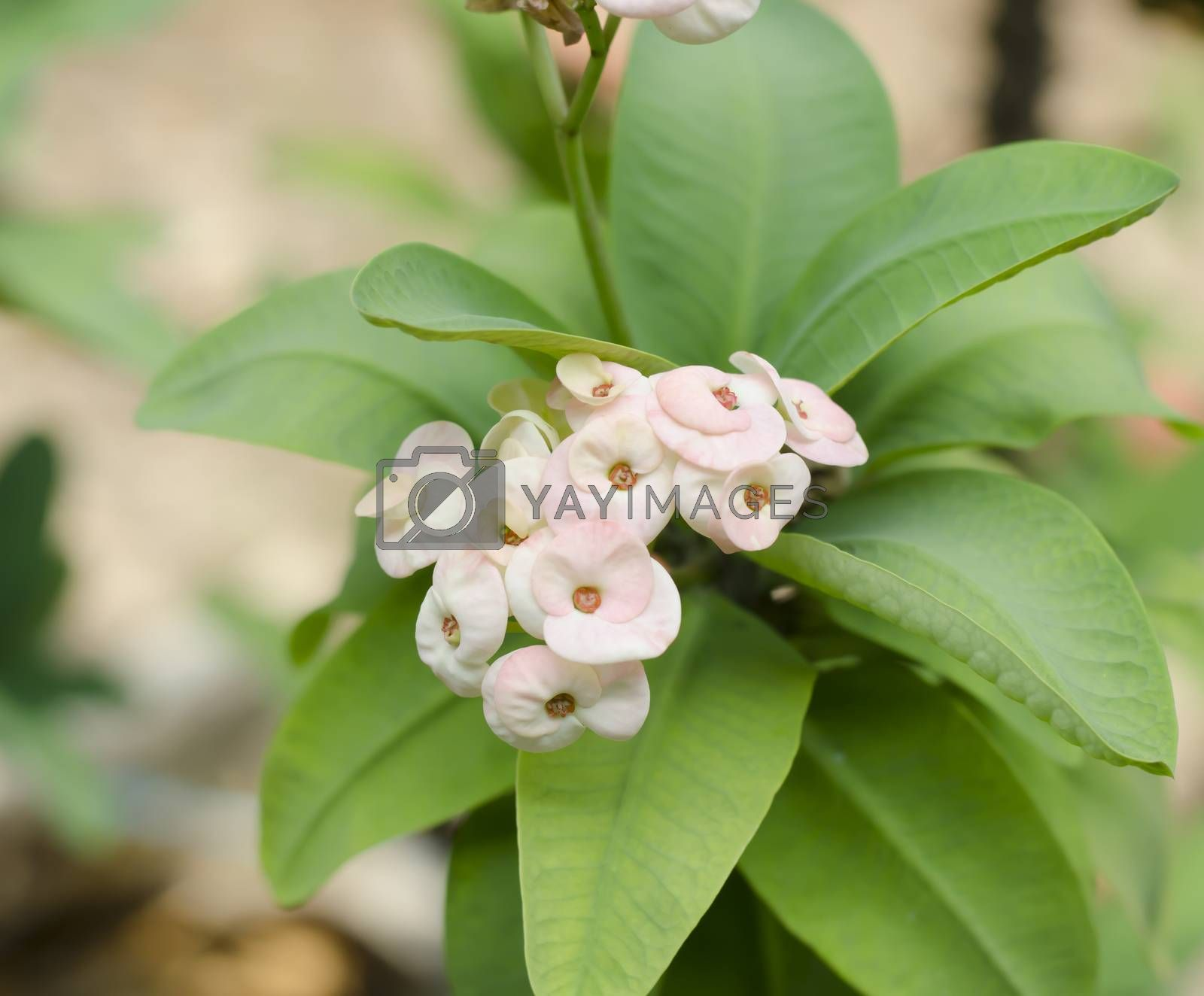 beautiful Euphorbia milli Desmoul in nature