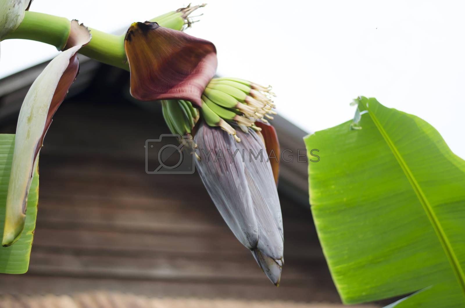 Banana Bud on banana tree