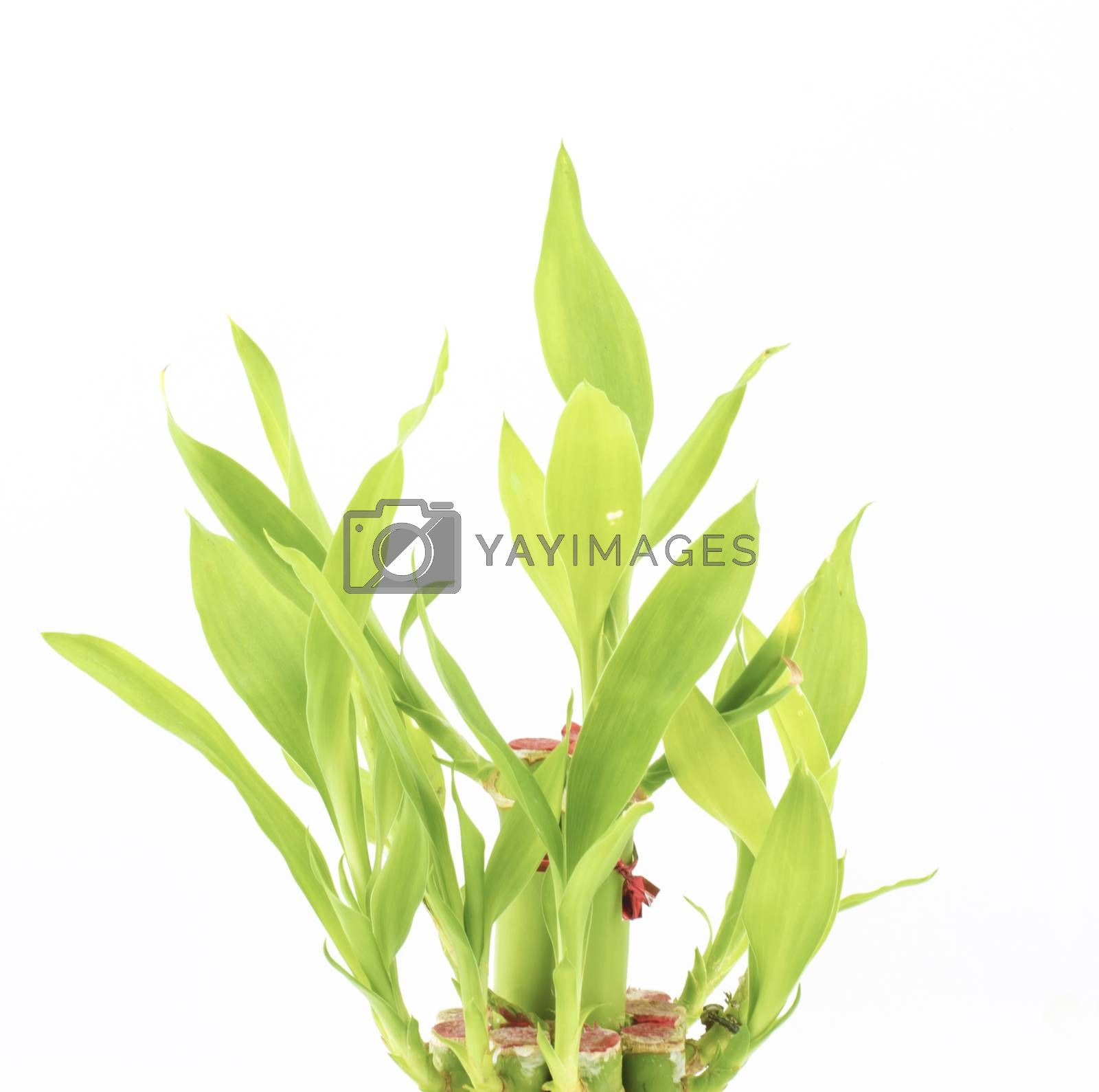 Dracaena Sanderiana isolated on white background