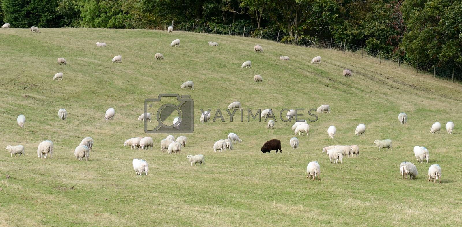 On black sheep in a field of white sheep concept of standing out in a crowd