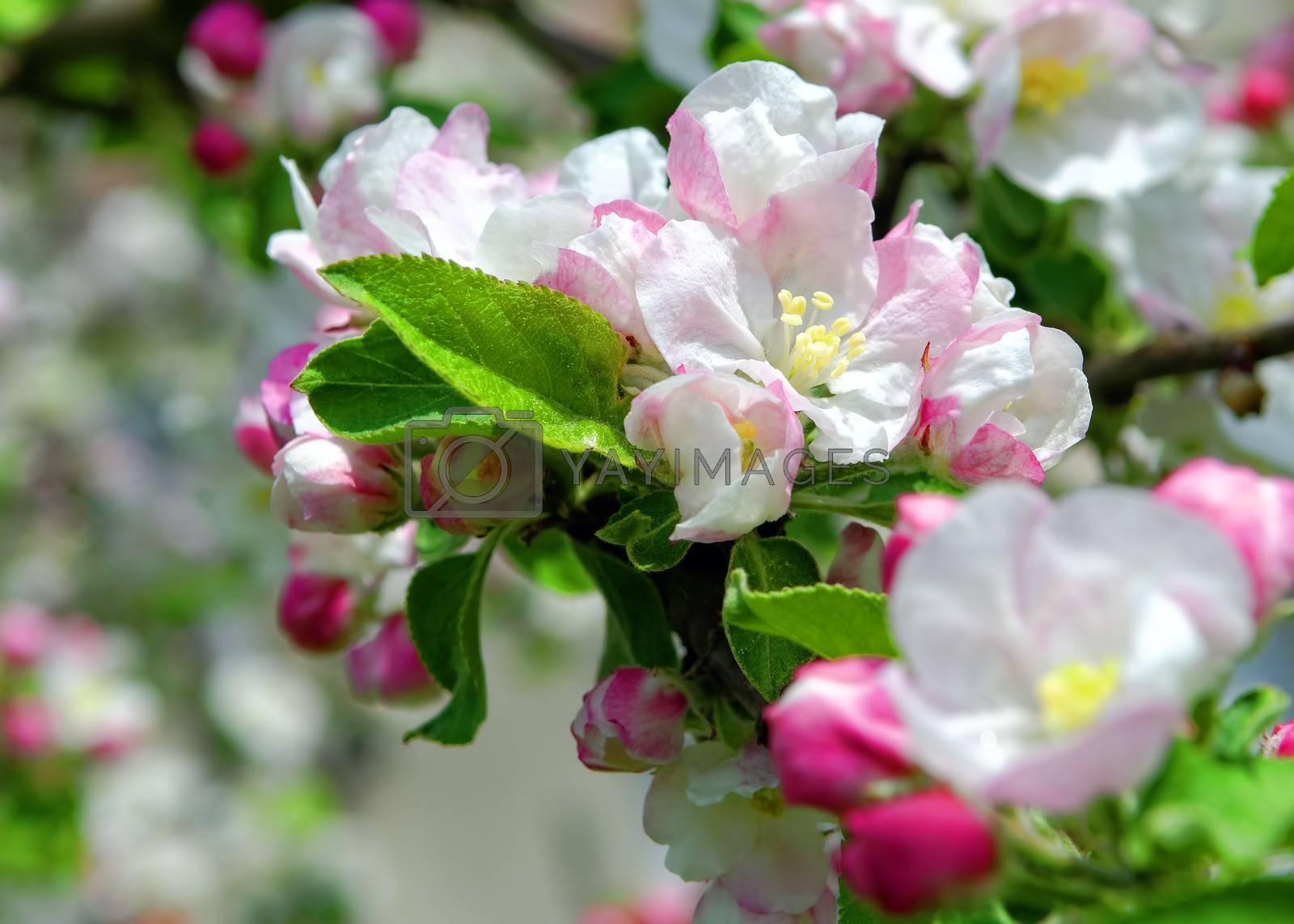 blossomed apple tree