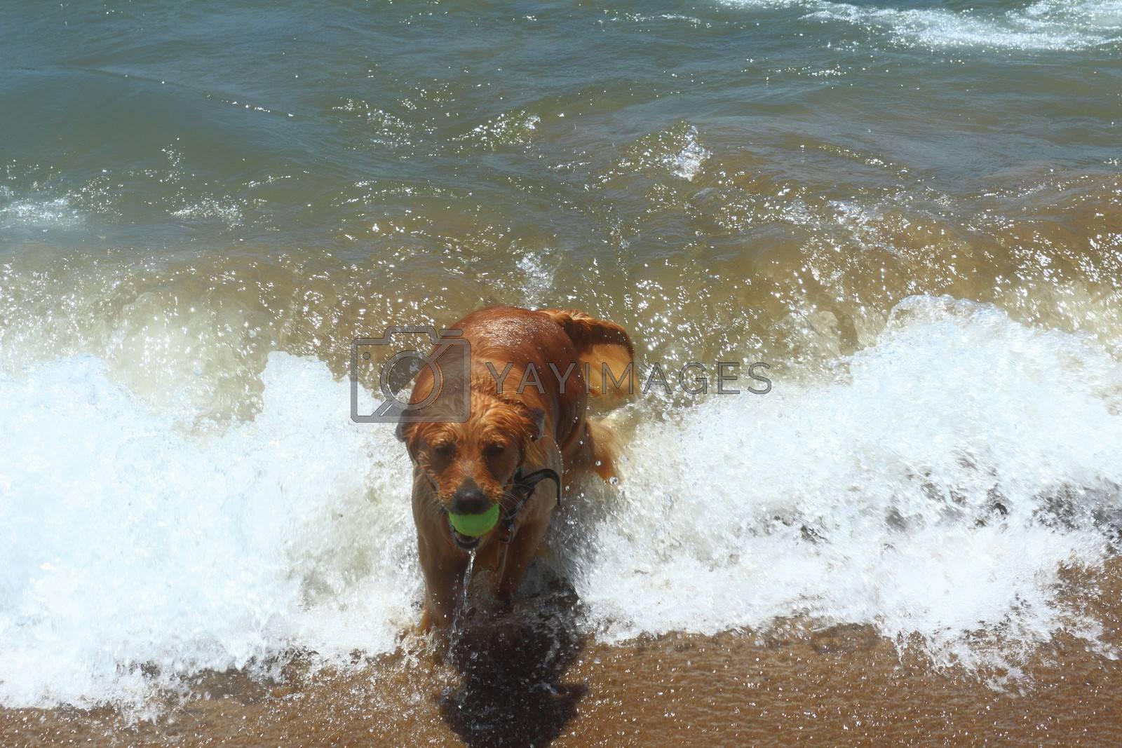 Beautiful pedigree dog on the beach plays in the coastal strip of water.