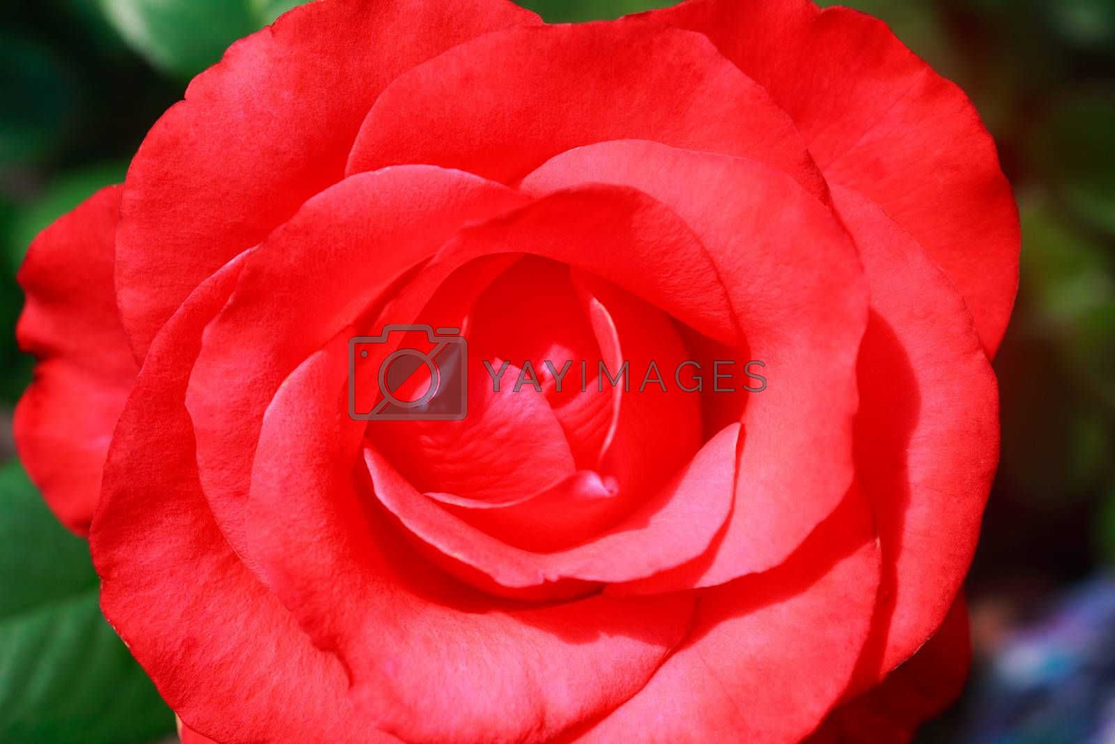 Hot pink flower tea-hybrid rose , blooming in the garden . Photographed close-up on the background of green leaves.