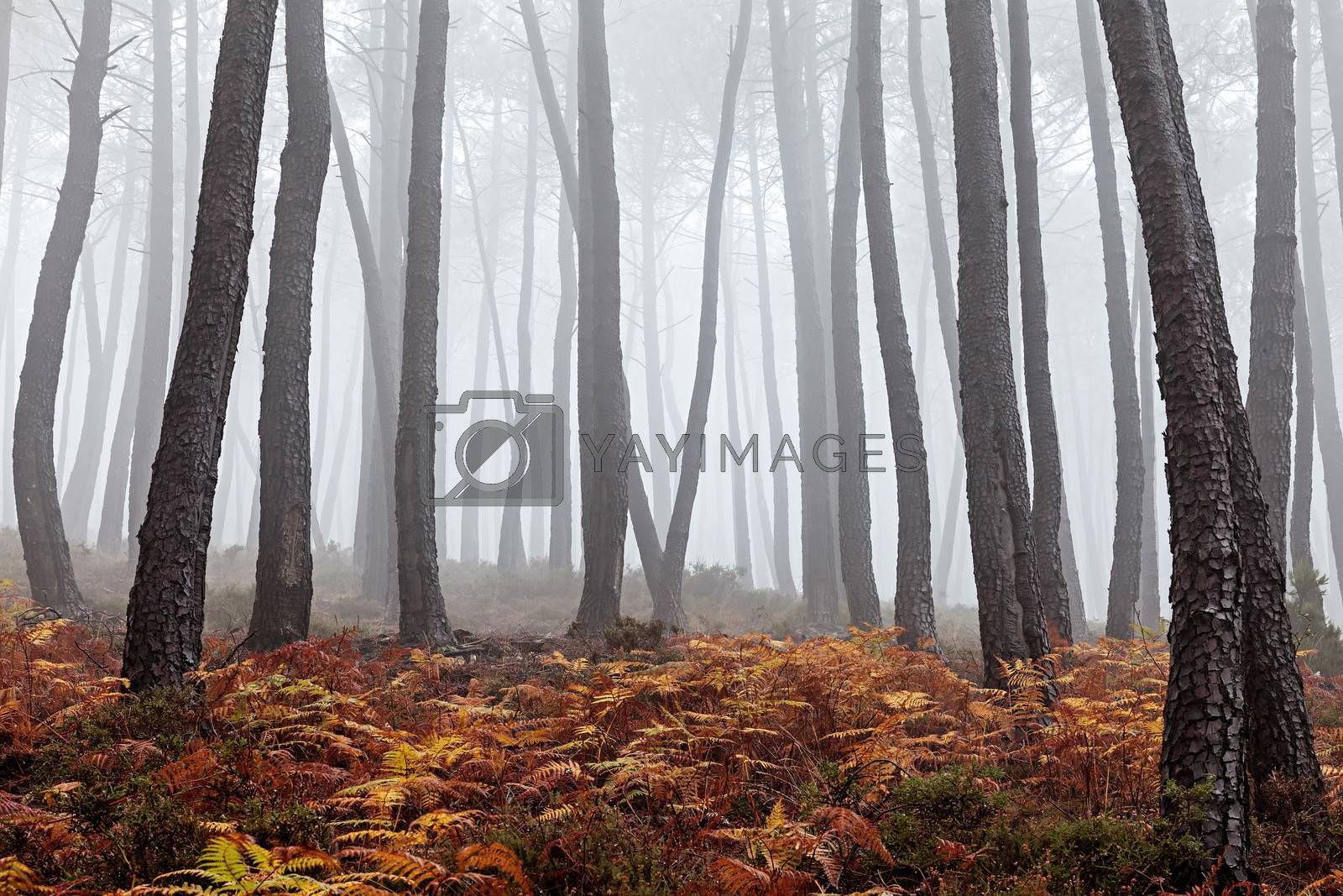 Beautiful view of a forest on a foggy day.
