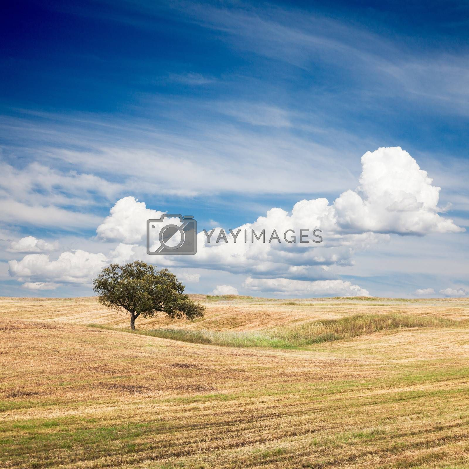 Royalty free image of Tree in Field by ajn