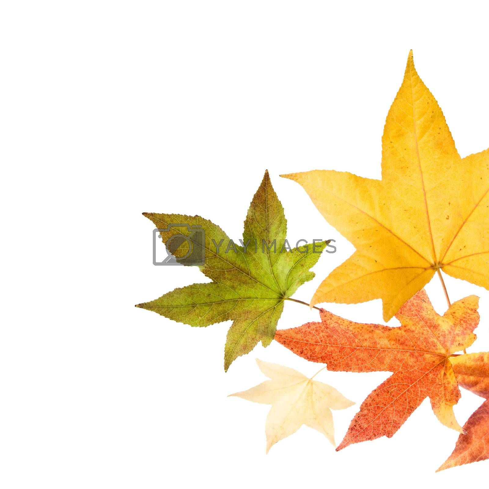 Autumn fall Leaves by ajn
