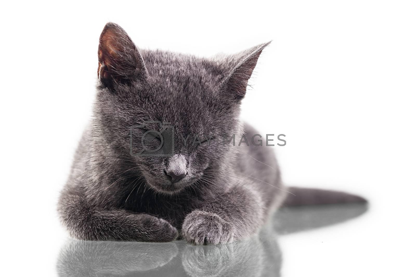 Chatreaux Kitten Sleeping by ajn