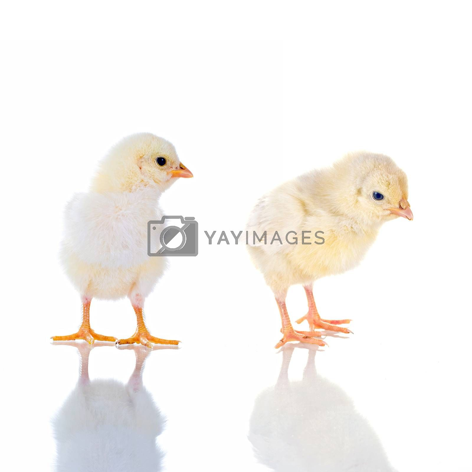 Photo of two cute baby chick, with reflection, over white background. concept: thinking!