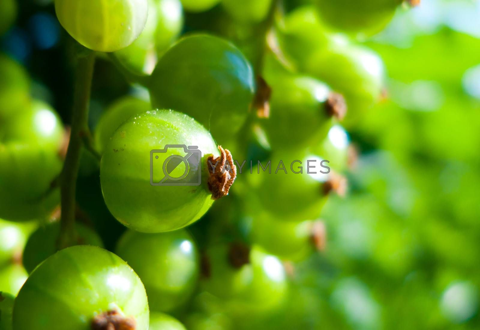 fresh green  currant in natur macro photo