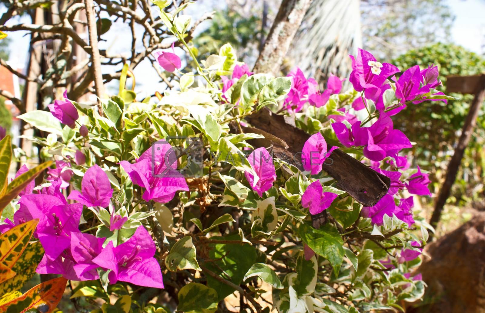 purple Bougainvillea very beautiful flower in Thailand