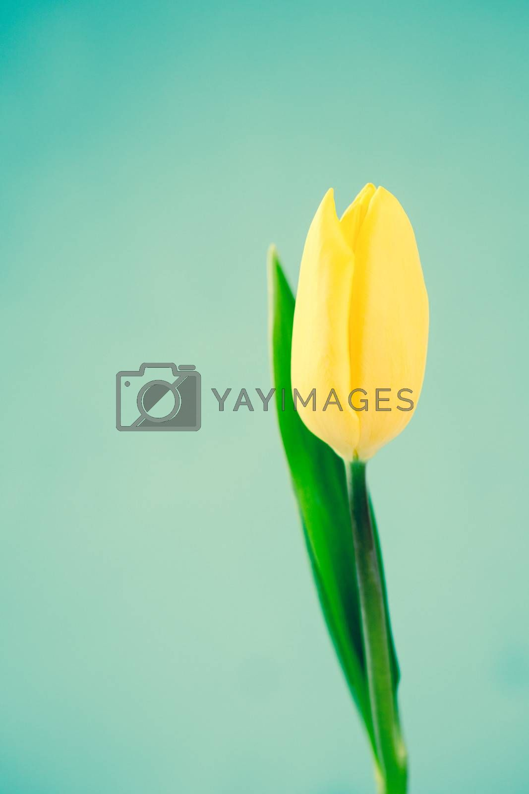 Yellow tulip on a blue background close up