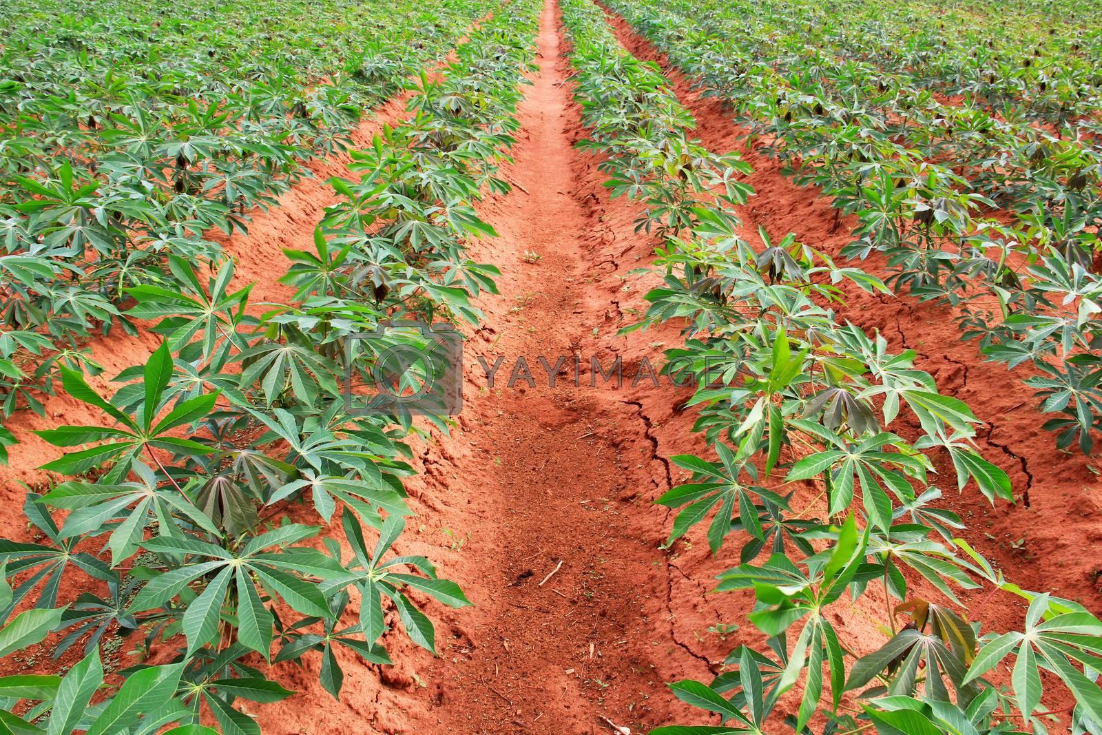 Cassava or tapioca plant field in Thailand