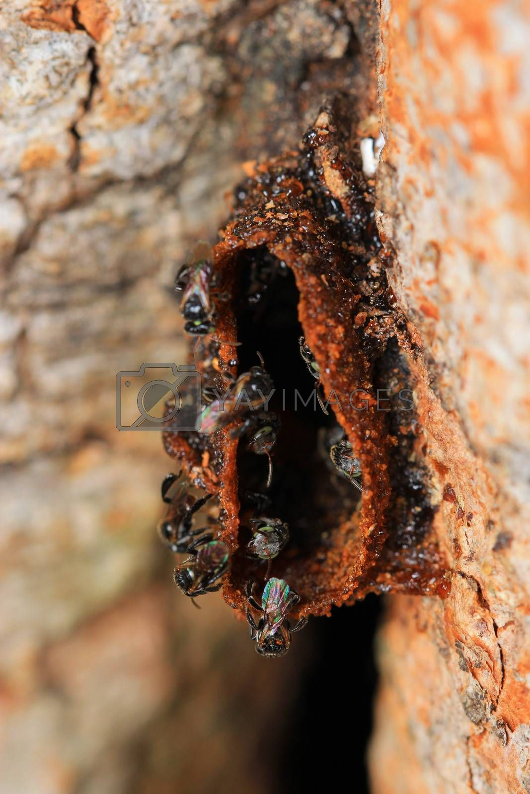 the miracle building beehive of melipona apicalis