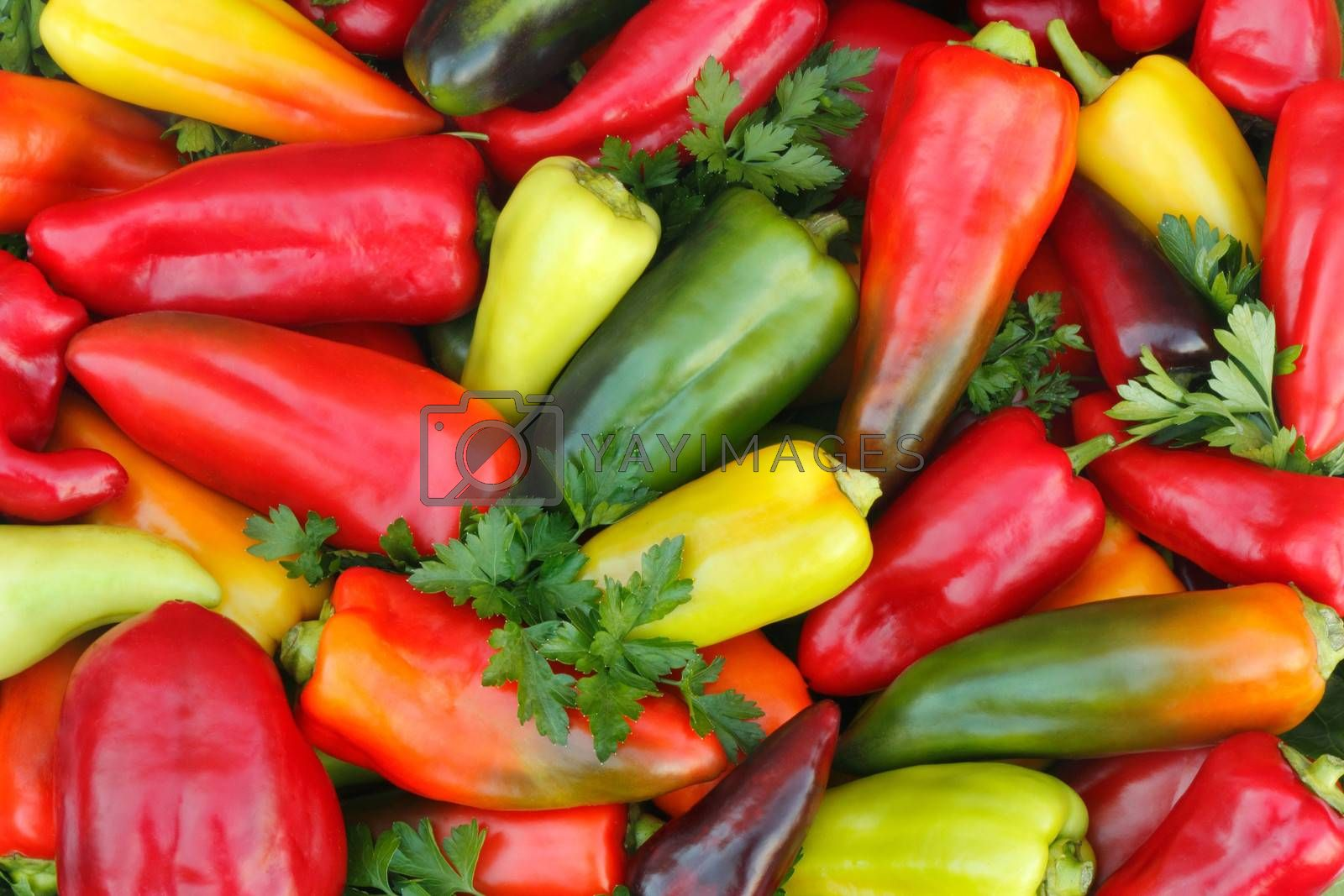 A large number of different varieties of pepper and painting together with parsley leaves