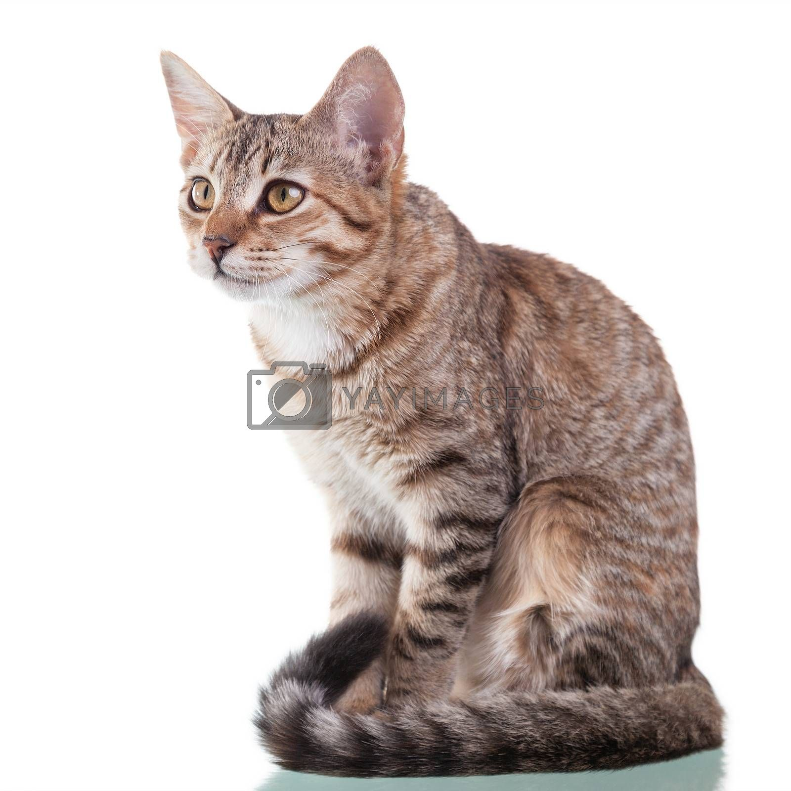 Photo of a brown striped kitten sitting down, isolated on white background. Studio shot.