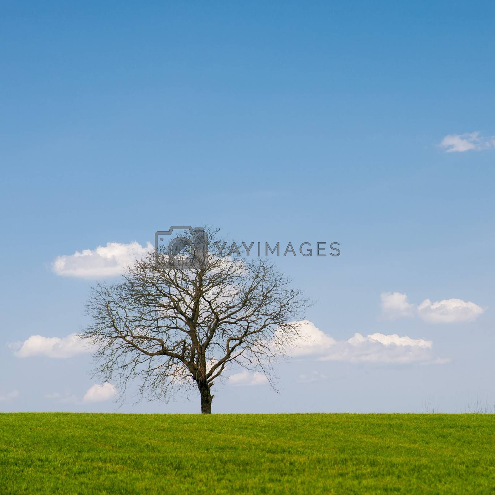 Lonely leafless tree on grass field with blue sky.