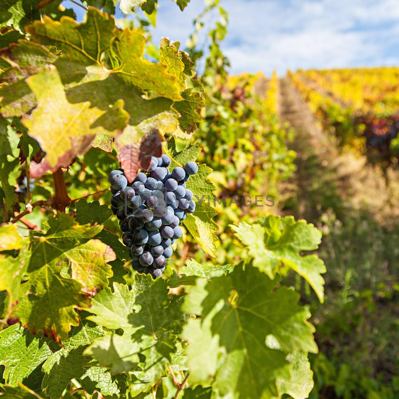 Port wine vineyards by ajn