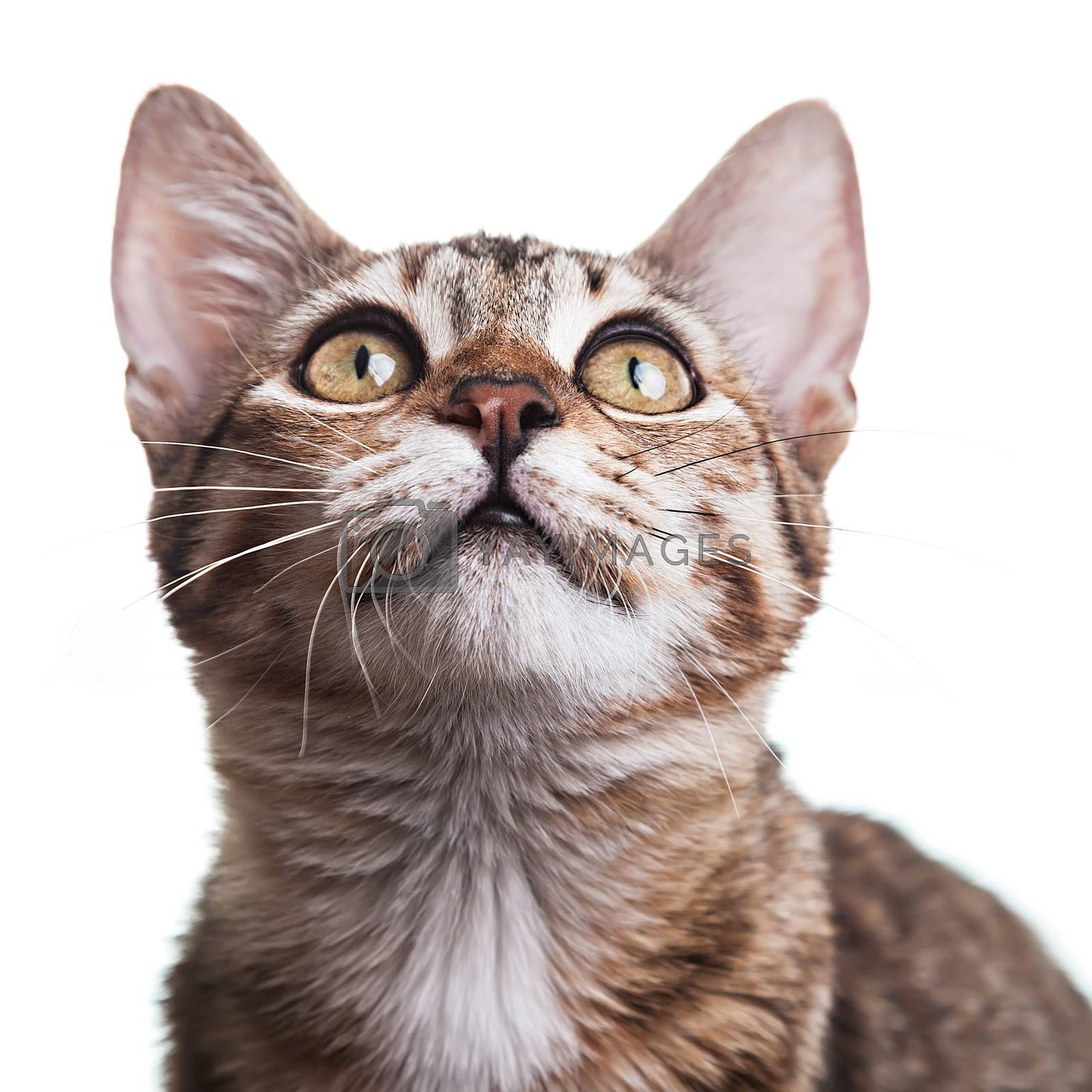Brown Striped Kitten Close-up by ajn