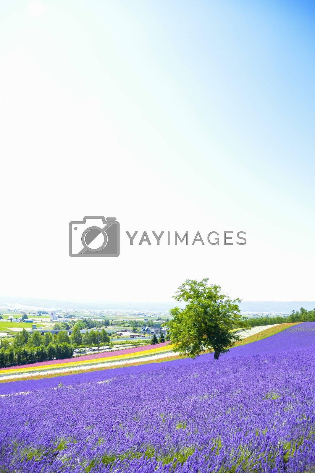 Lavender flower in the farm2