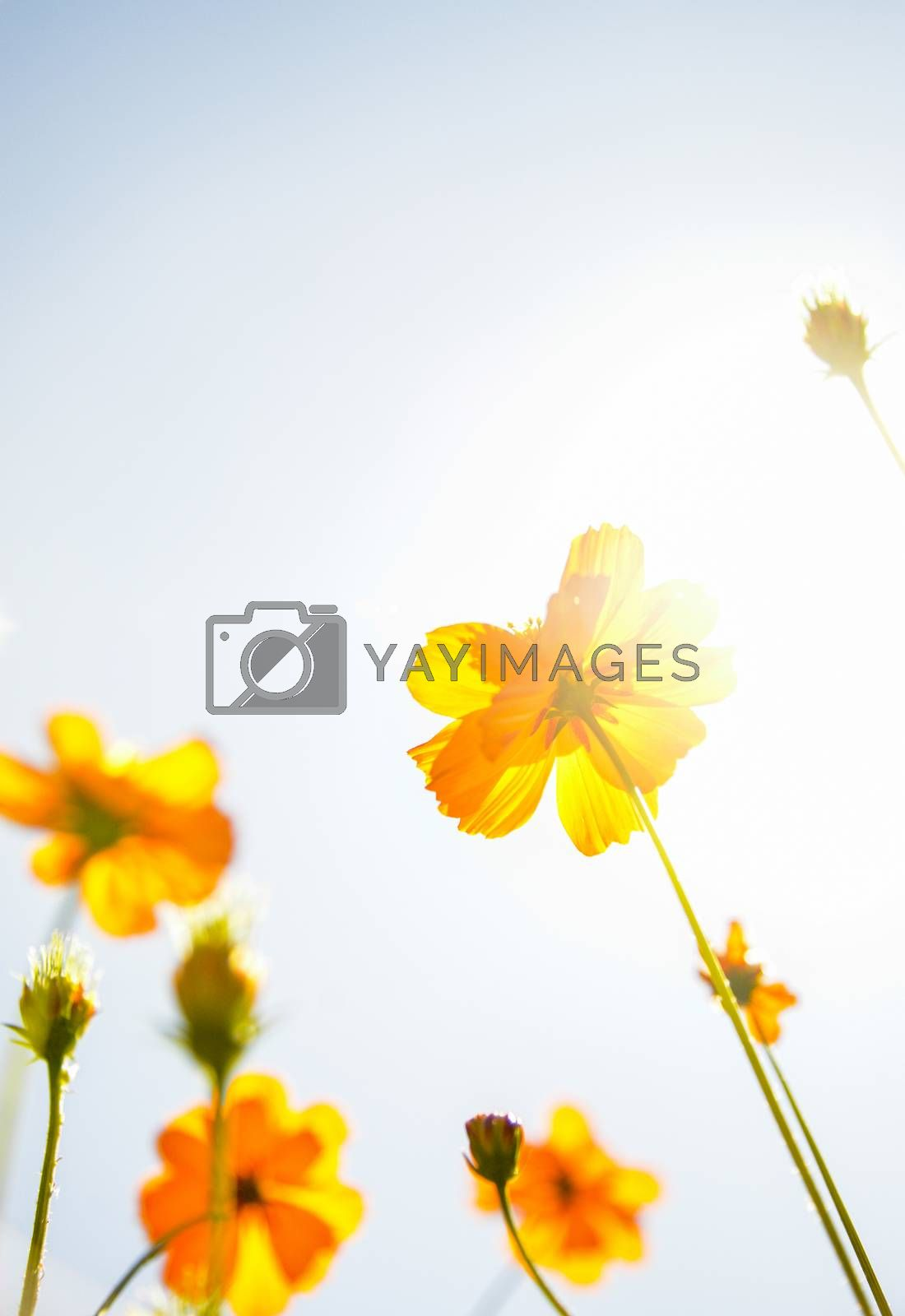 Yellow Cosmos flower with sunshine3