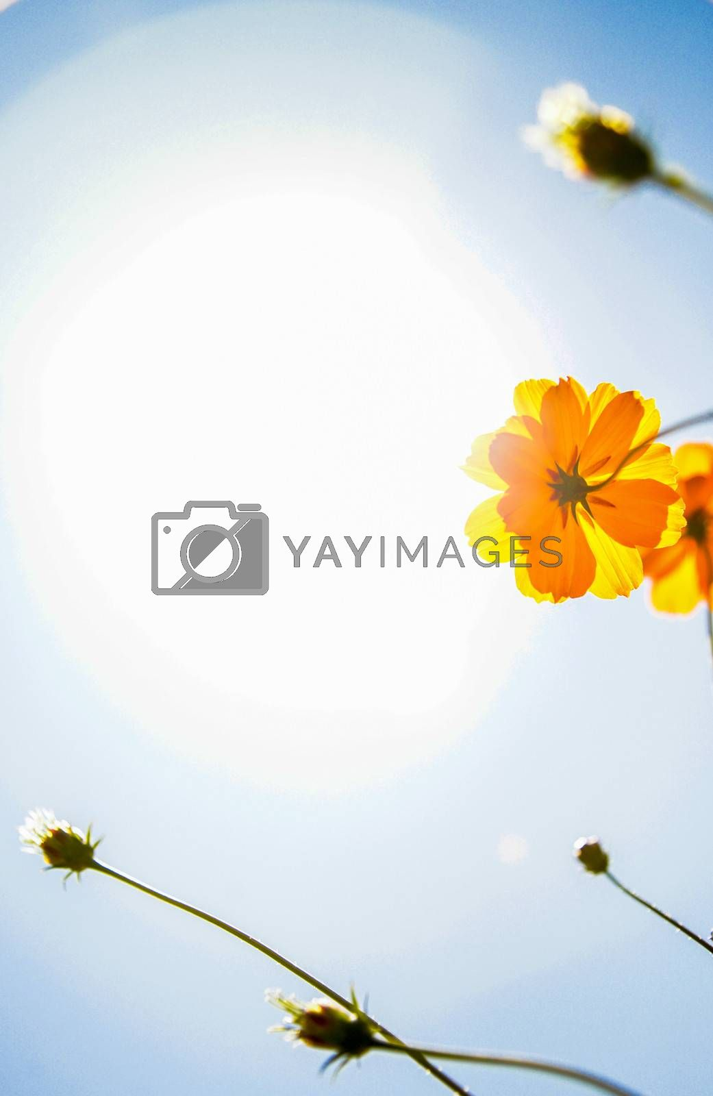 Yellow Cosmos flower with sunshine1