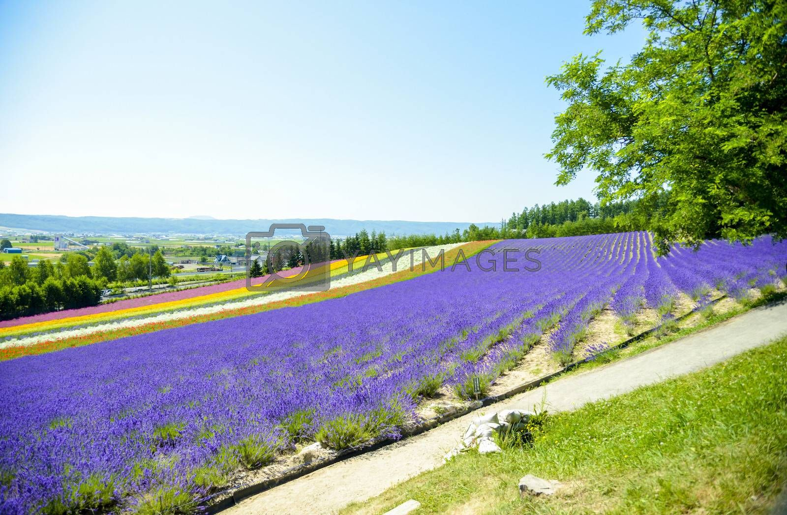 Lavender and colorful flower in the field4