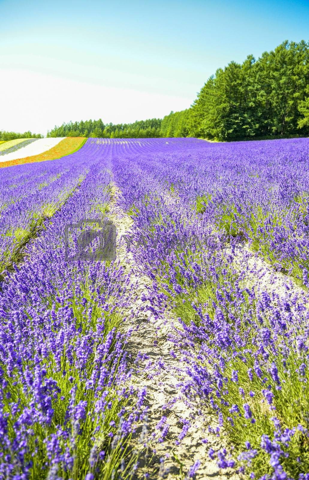 Lavender field in the row1