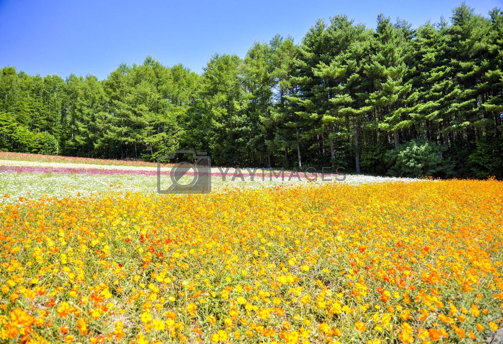 Yellow cosmos field in the farm1