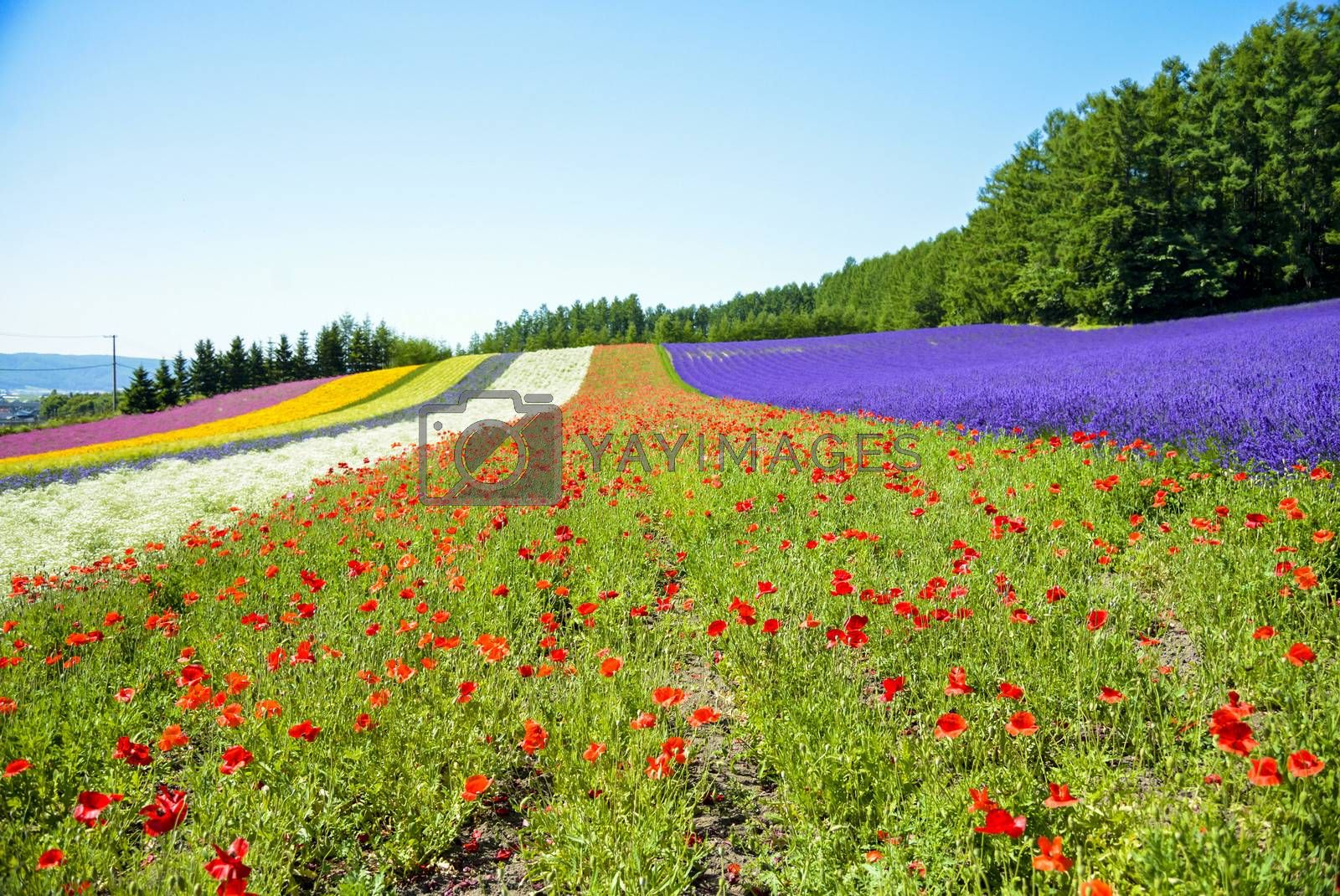 Colorful flower in the row with blue sky10