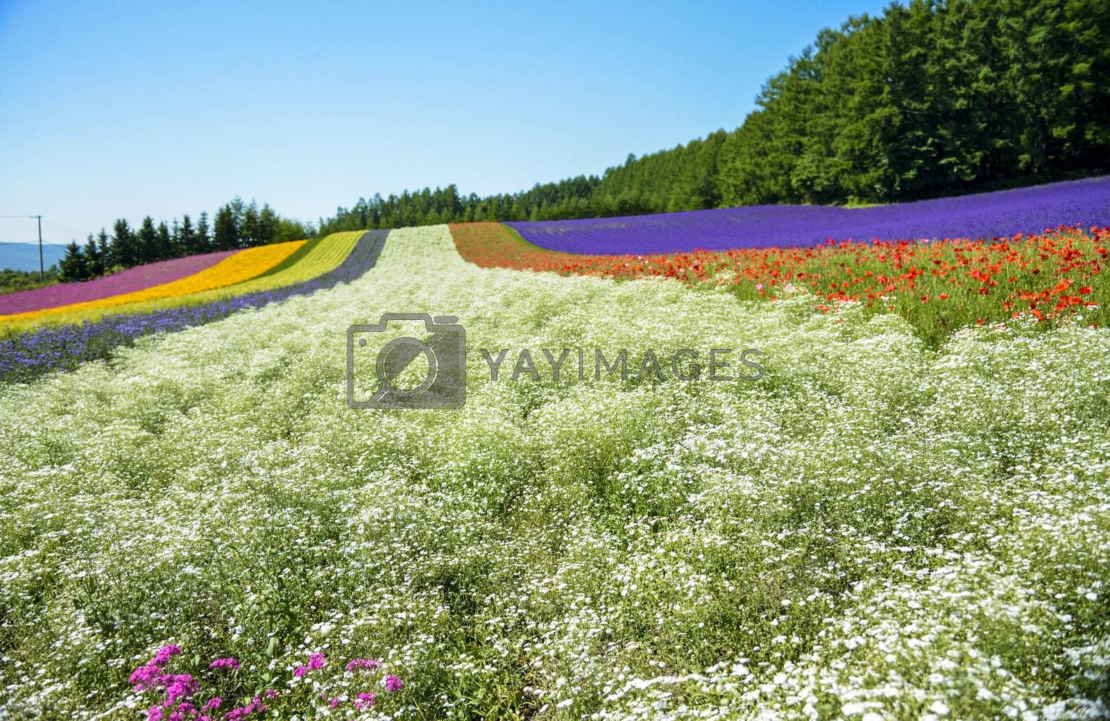 Colorful flower in the row with blue sky9