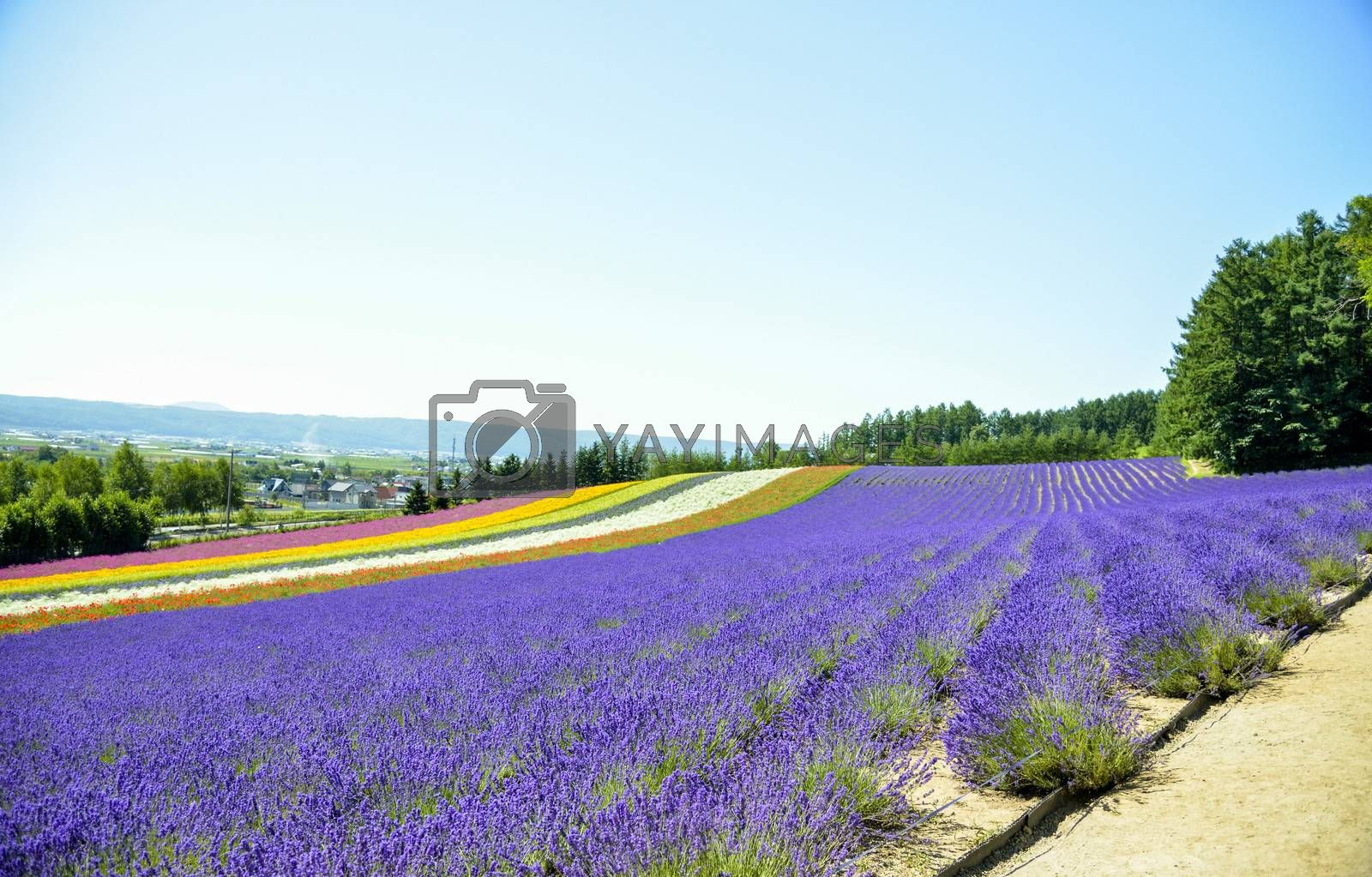 Lavender field in the row2