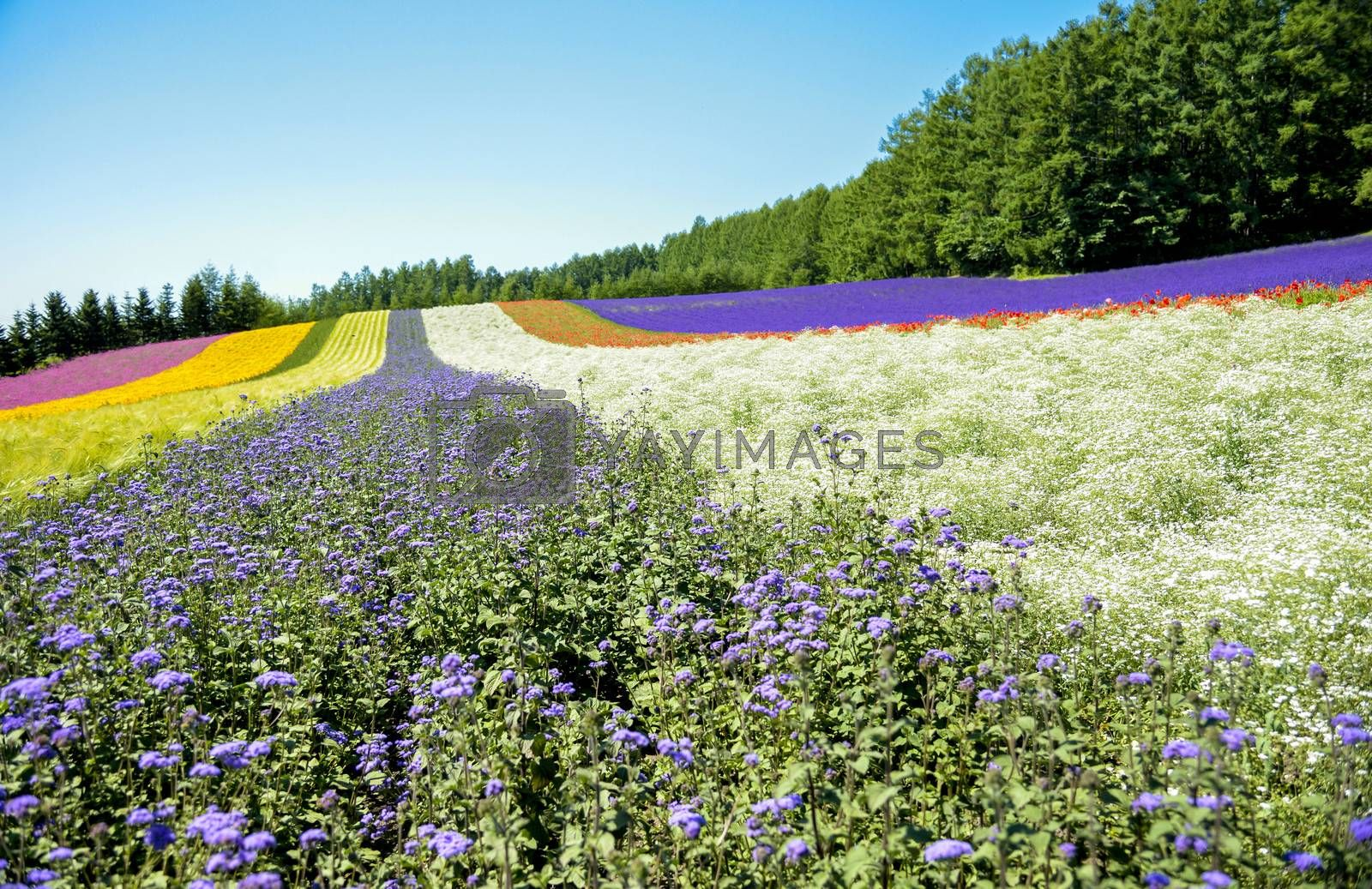 Colorful flower in the row with blue sky6