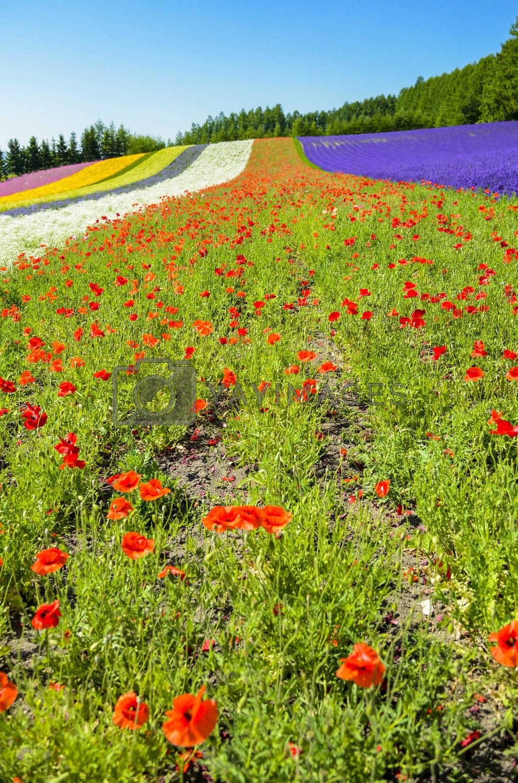 Colorful flower in the row with blue sky11