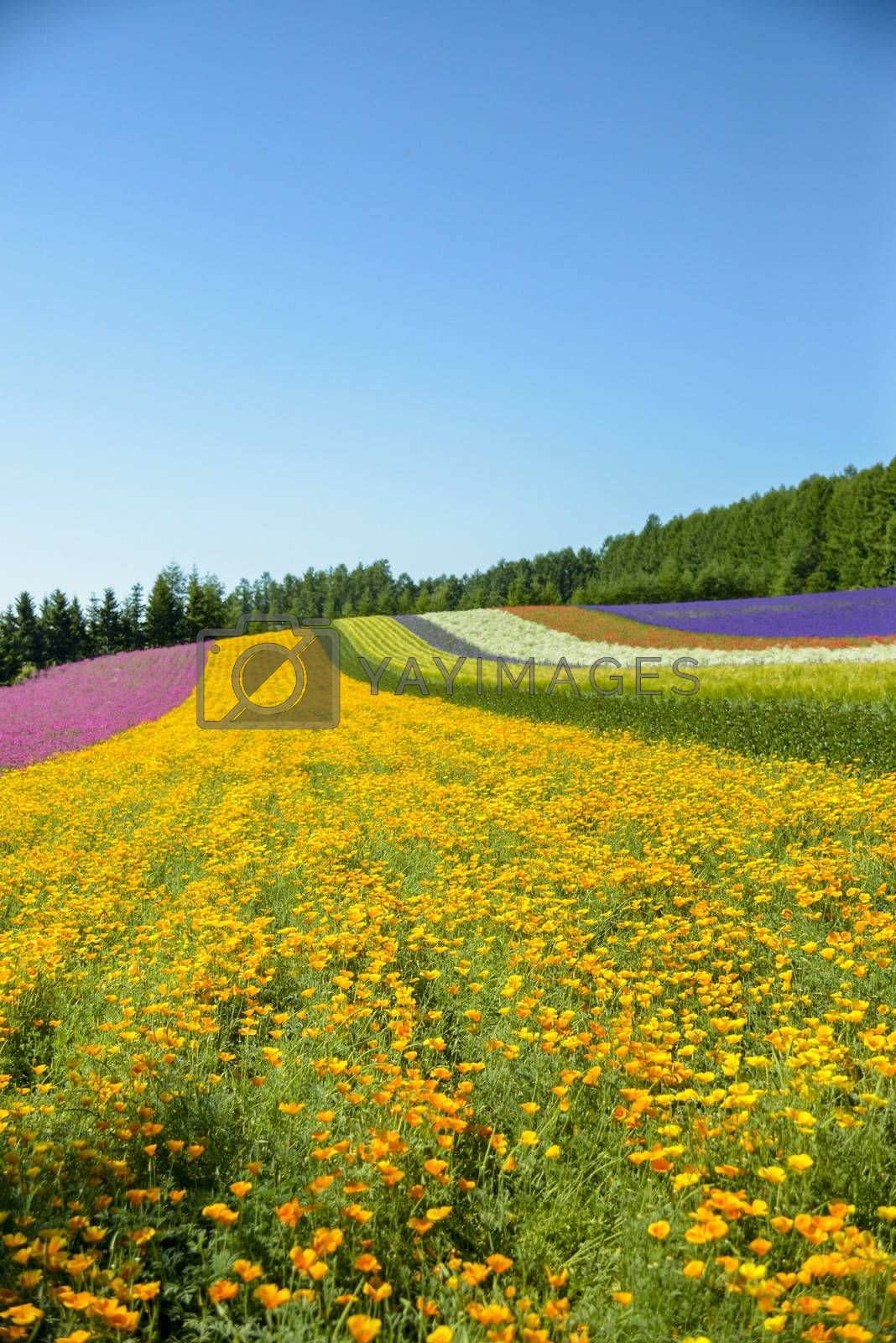Colorful flower in the row with blue sky2