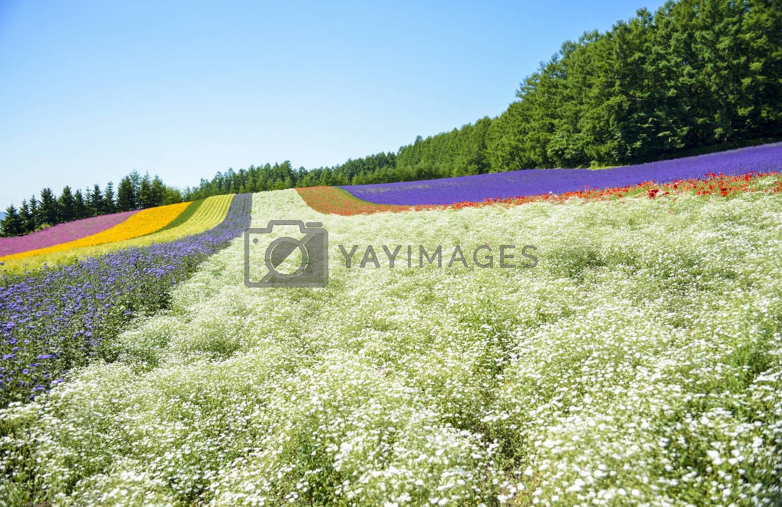 Colorful flower in the row with blue sky5
