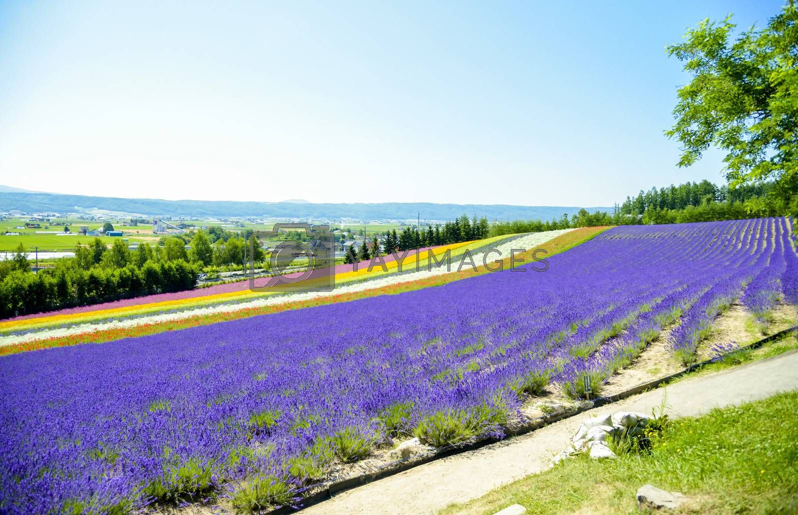 Lavender and colorful flower in the field5