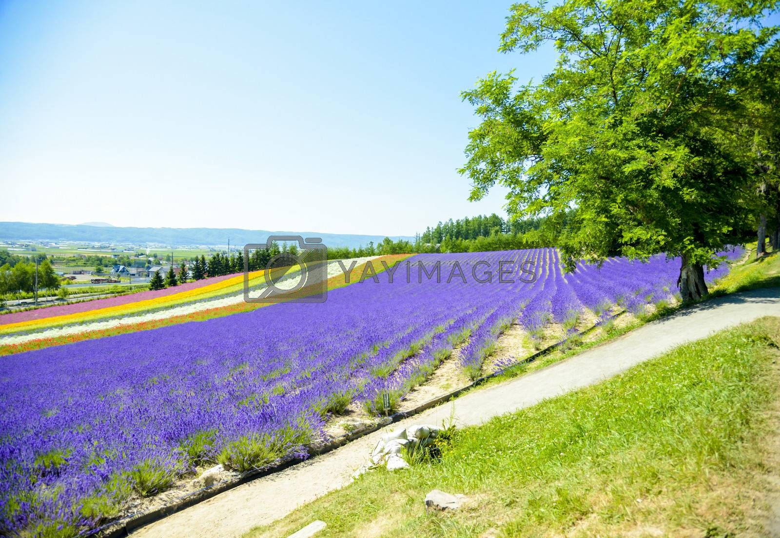 Lavender and colorful flower in the field3