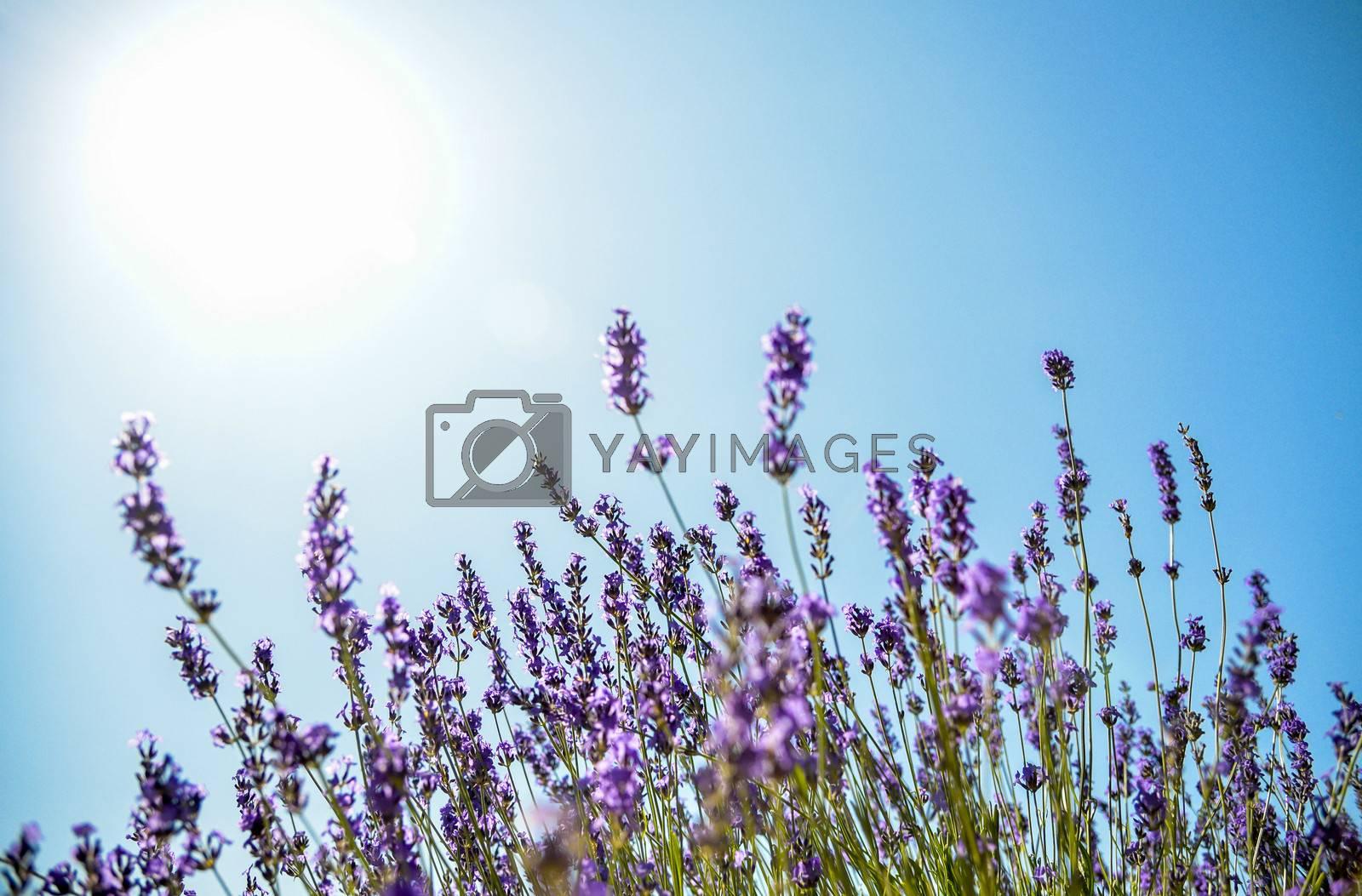 Lavender flower with blue sky2