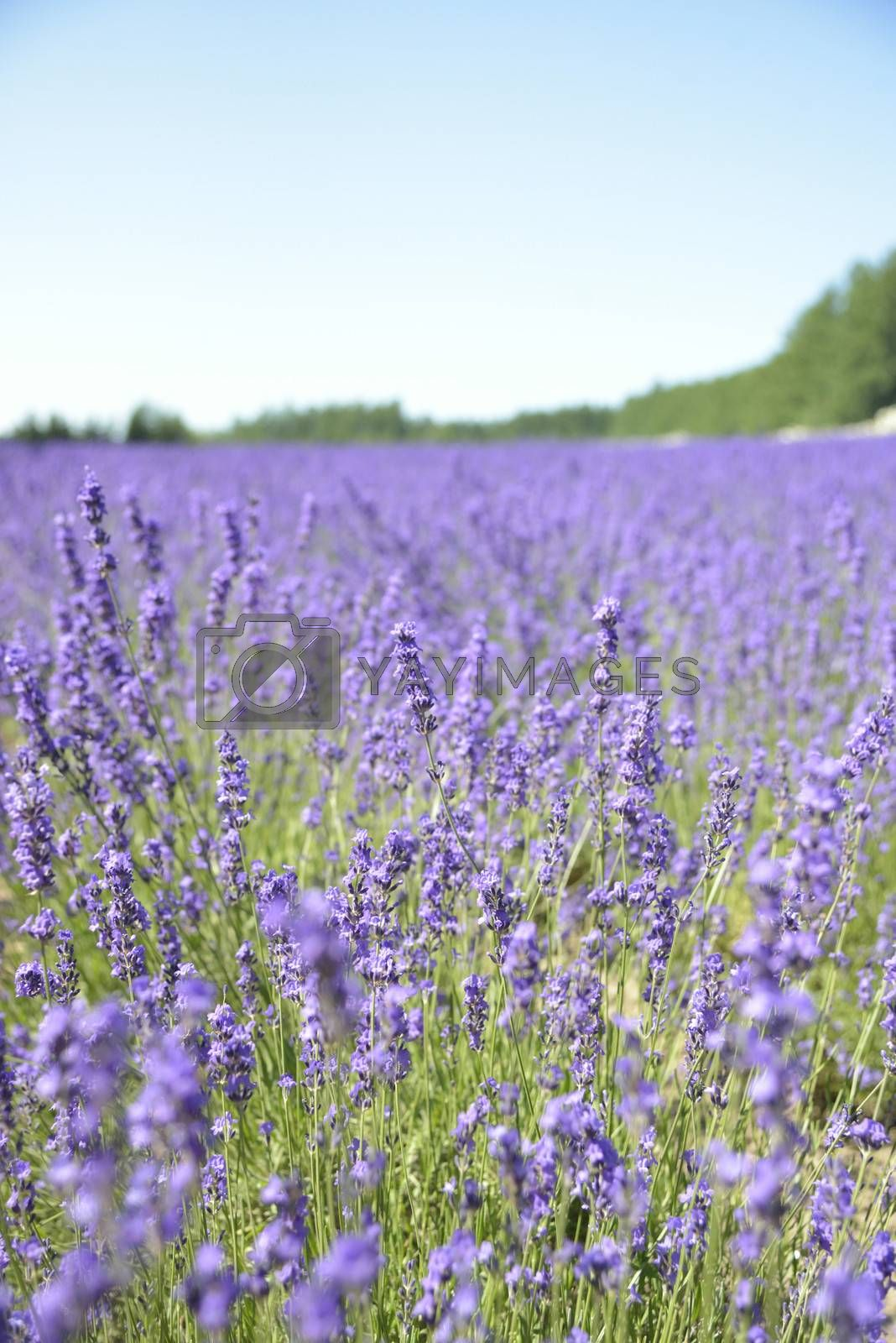 Lavender field with blue sky3