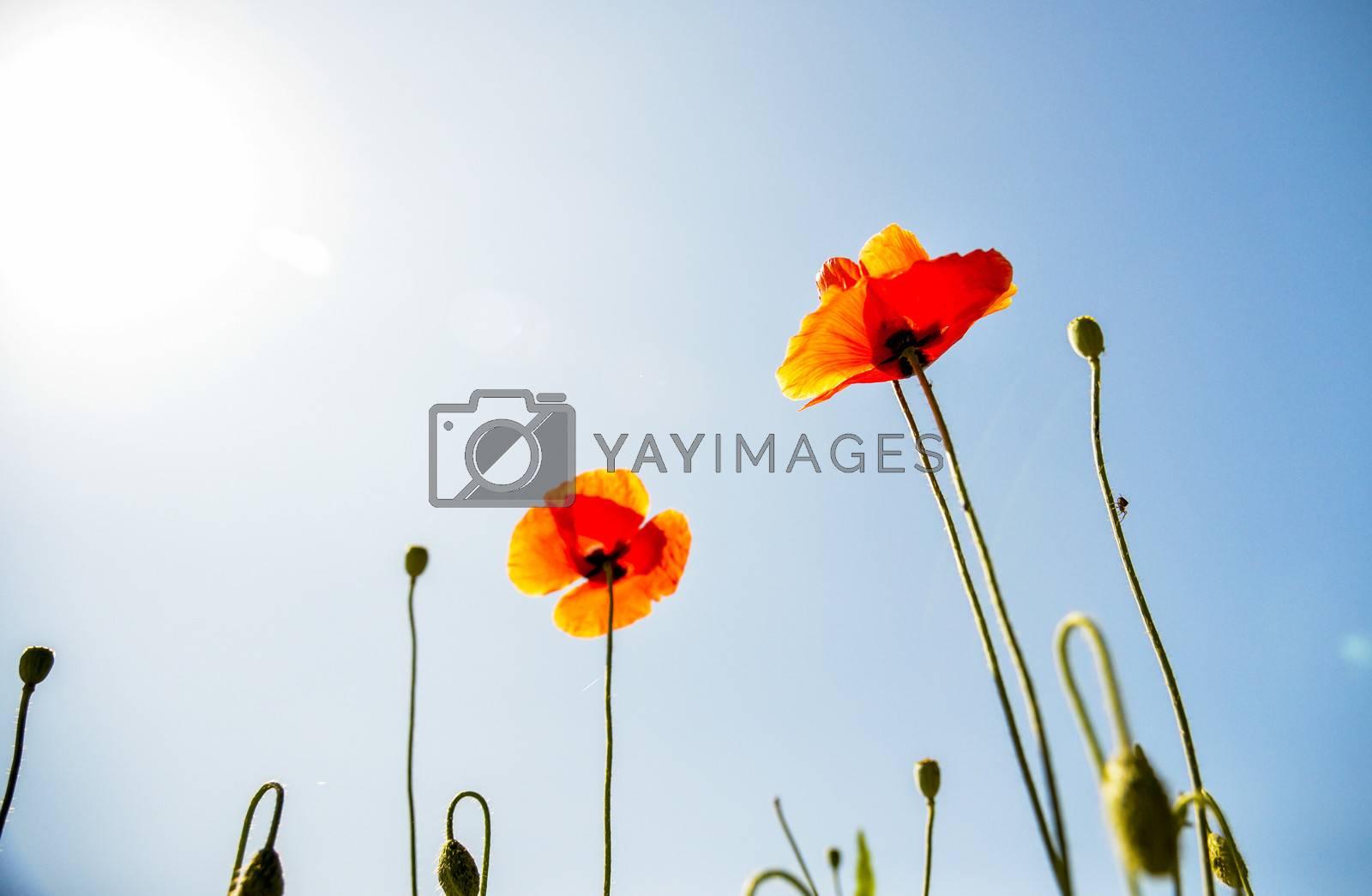 Orange poppy flower with blue sky2